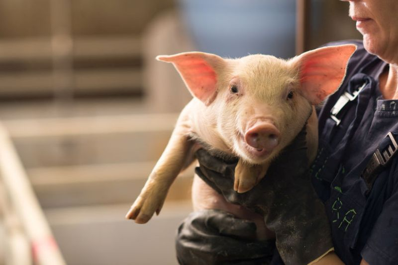 The issue of salmonella is an increasing problem on UK pig farms