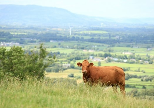 Live markets have become stronger in recent weeks and there is a strong demand for beef cattle