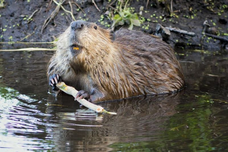 The NFU says the reintroduction of the Eurasian beaver could have a 'massive impact' on local farming
