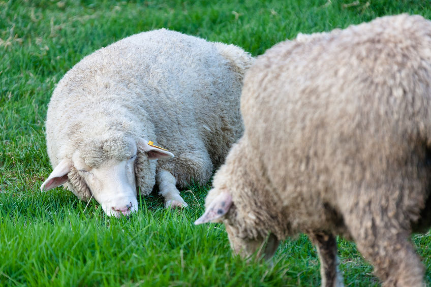 It is now easier to find the genetic merit of sheep, expressed using EBVs (Estimated Breeding Values)