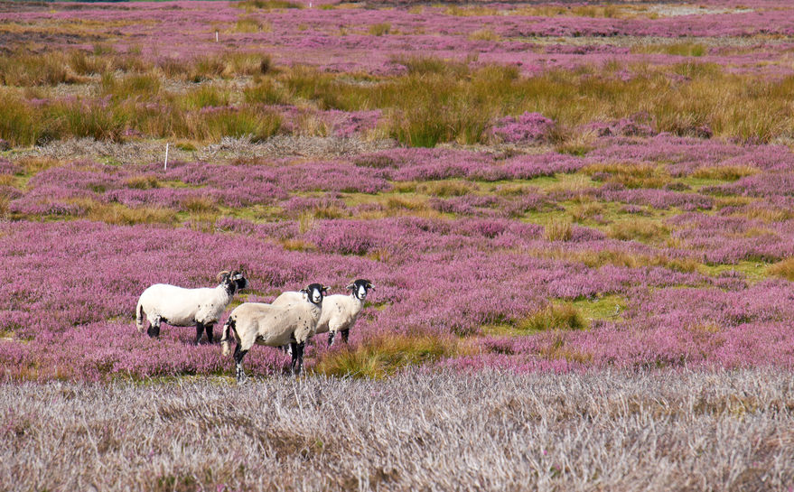 The industry will launch the proposal to promote native British sheep breeds and their value