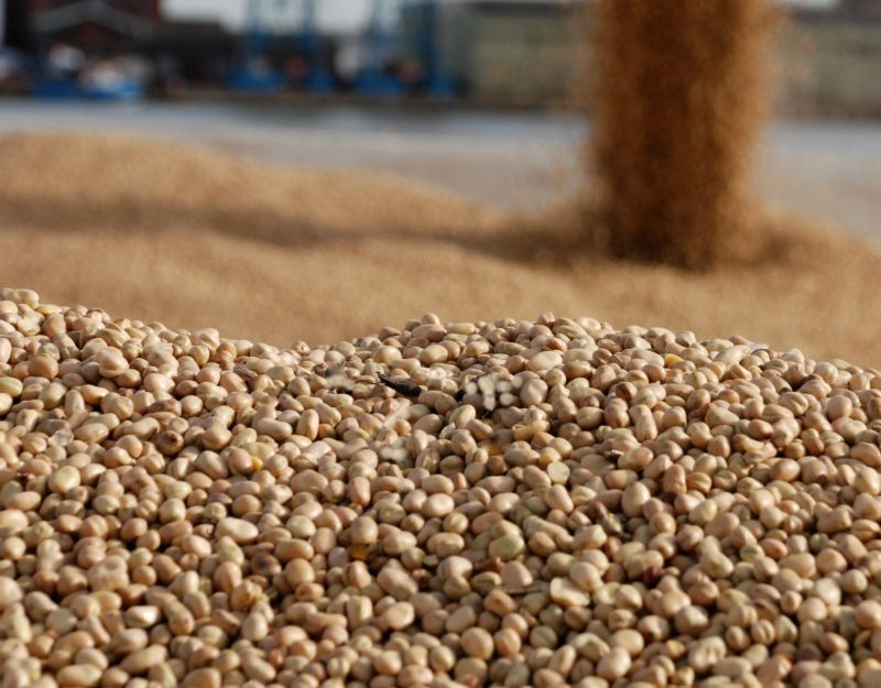 This year's pulse harvest was 'significantly better' than 2018 (Photo: Pulses UK)