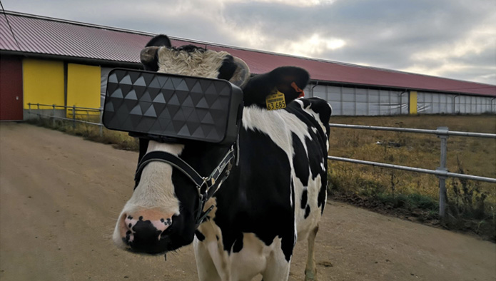 Dairy farmers give cows VR goggles to improve milk production""