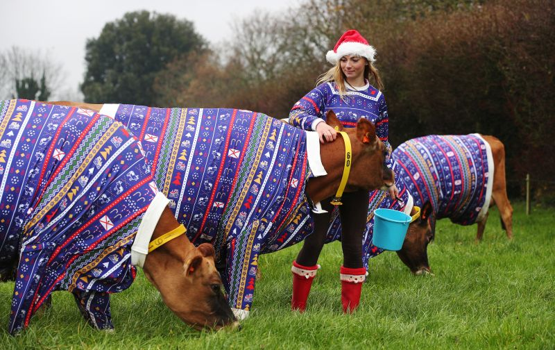 A herd of Jersey cows have been given festive designs by a Christmas-obsessed farmer