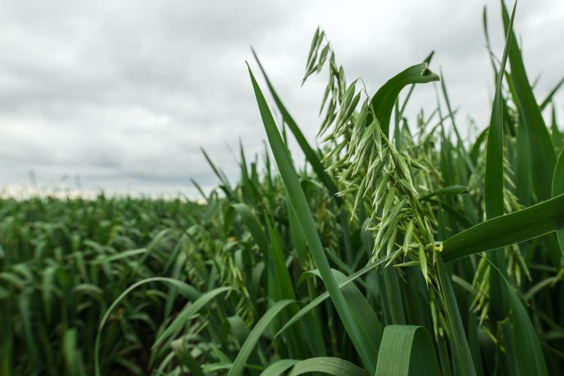 A seed specialist is looking for growers of naked oats to meet increased market demand