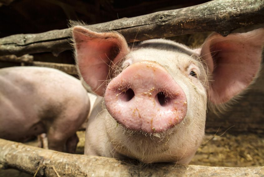 It follows last night's controversial programme 'How to Steal Pigs' (Stock photo)