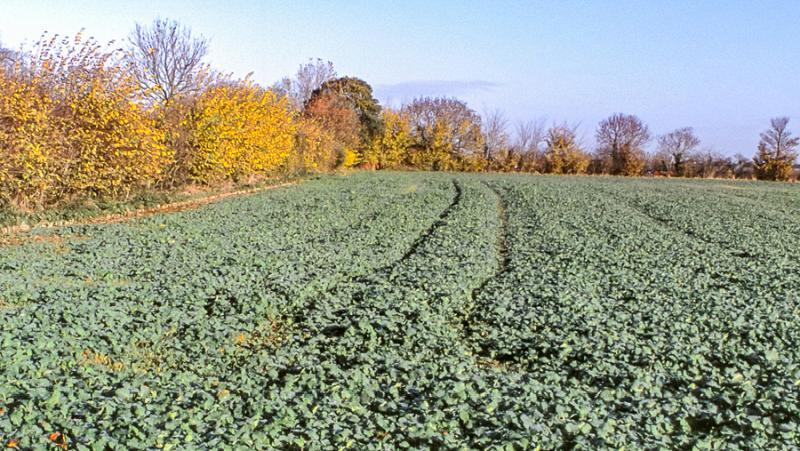 Corteva will launch Korvetto herbicide marking a step-change in oilseed rape broadleaf weed control