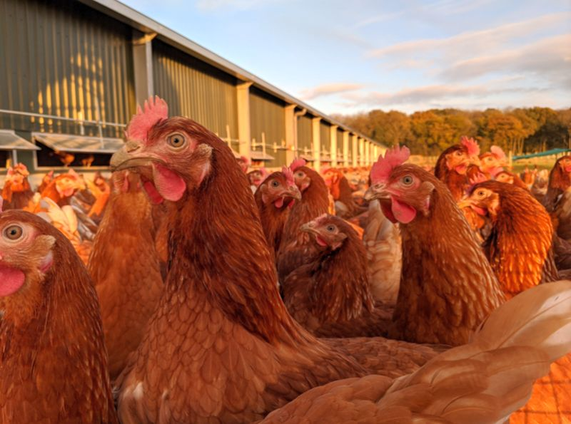 Demand for free-range eggs has grown steadily in recent years