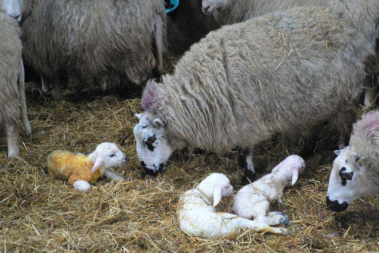Poor body condition and energy balance in ewes in late pregnancy is known to affect new born lamb survival