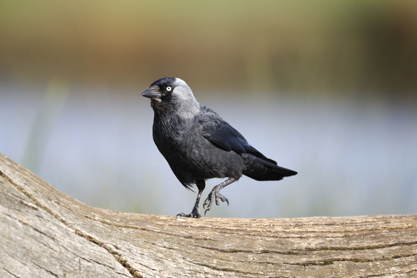 One general licence allow farmers and land managers to shoot certain bird species to prevent serious damage to livestock