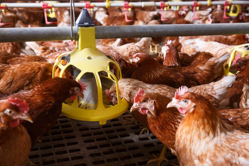 H5N6 bird flu has been confirmed in the province of Sichuan, southwest China (Stock photo)