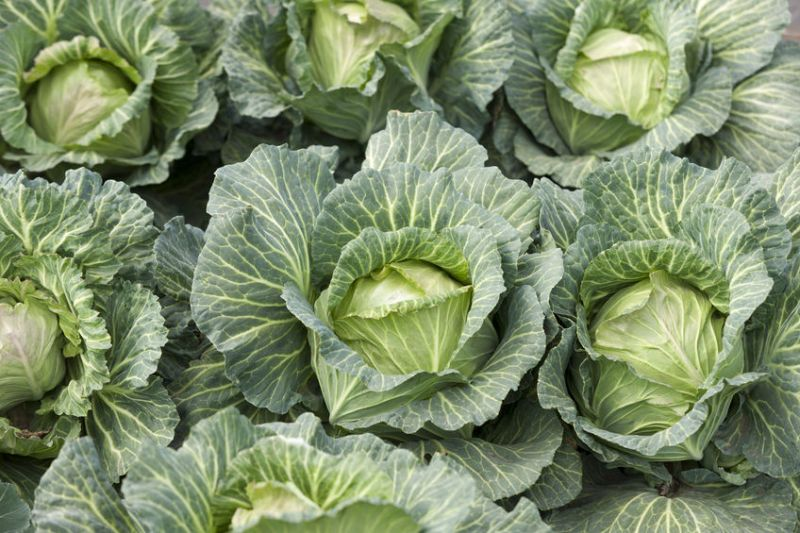 The Department for International Trade worked with Naylor Farms to release around 25,000 round cabbages from the Malaysian Quarantine Services