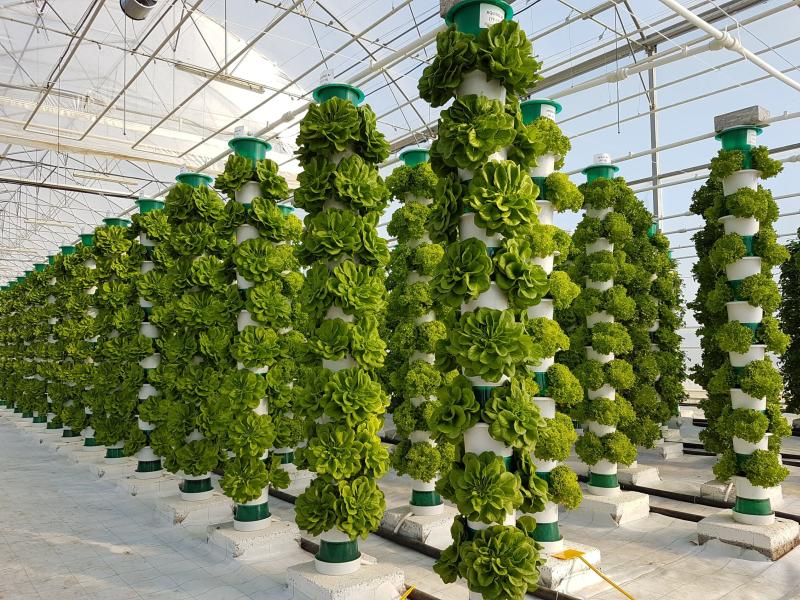 Indoor lettuce production, which uses no heat or artificial light