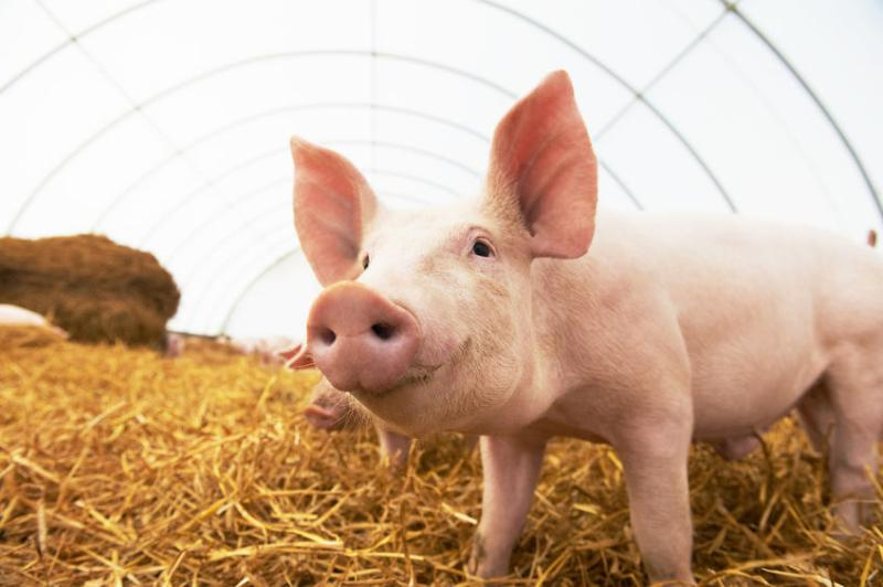A firm export demand from China has offset weak domestic pork consumption