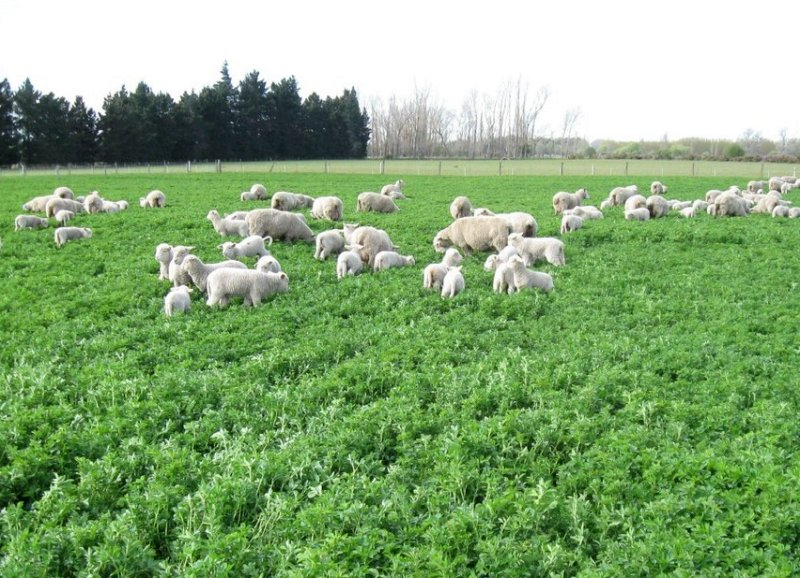 New farmer-led research exploring the benefits of sheep grazing on lucerne is launching this year (Photo: Innovative Farmers)