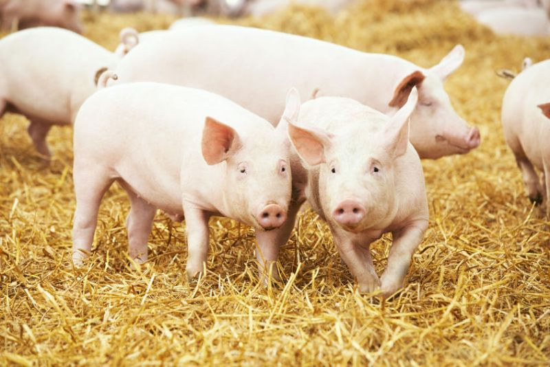 British pig producers have called on government to maintain EU pork tariffs in future trade deals