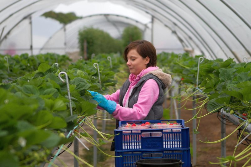 Berry growers have launched a recruitment drive to encourage people who have been affected by coronavirus-related redundancies to work on-farm (Photo: Angus Growers)