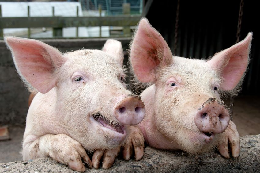 Research looked at whether pigs and chickens become infected, whether the pathogen replicates and if the animals show symptoms of disease