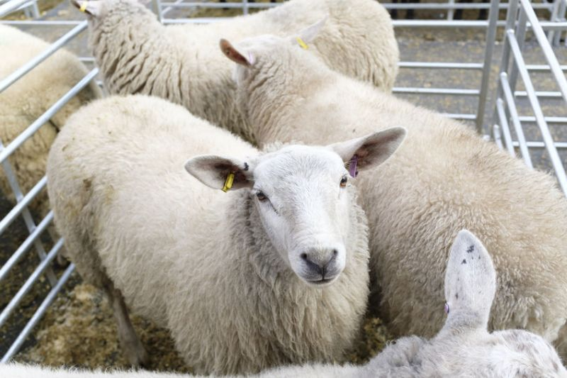 Livestock marts in Northern Ireland closed voluntarily on 23 March due to the coronavirus crisis
