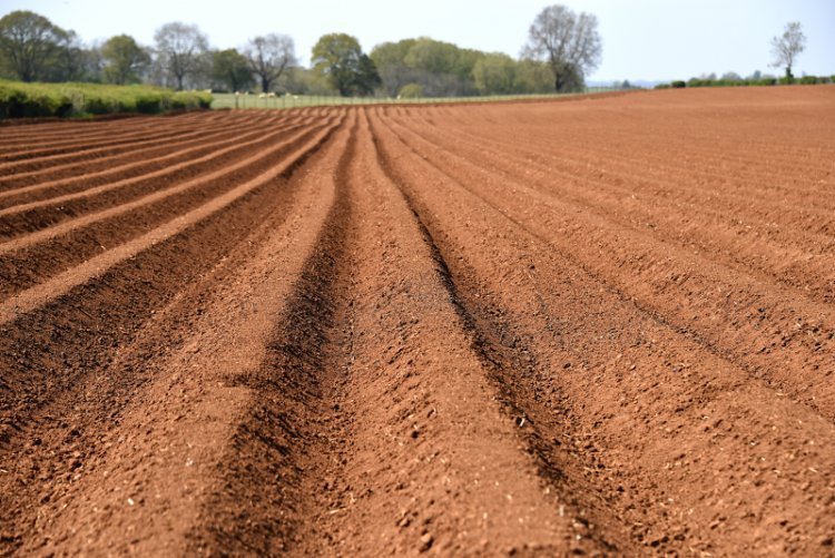 While the primary concern over the presence of weeds in potato crops is one of yield, it can also increase blight risk through sheltering leaves or contributing to a more favourable microclimate