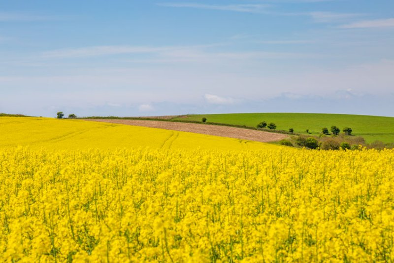 British oilseed rape growers are seeking an 'effective alternative' to neonics, which were banned by the EU in 2018