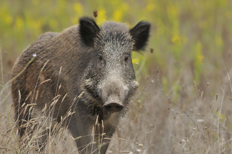A new mathematical model was used to understand the different ways that African swine fever could be transmitted