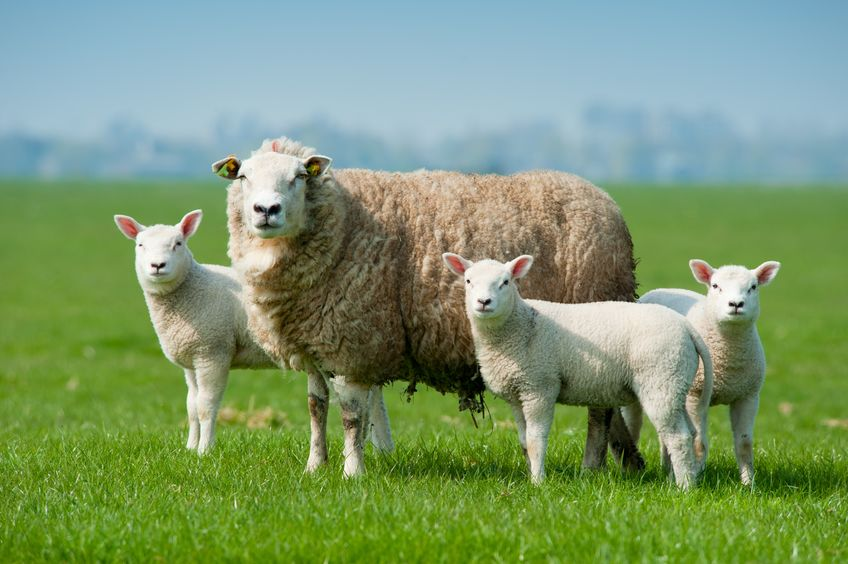 Thieves targeted a Starffordshire farm and stole dozens of sheep in what is the latest in a string of similar incidents to have occurred in recent weeks