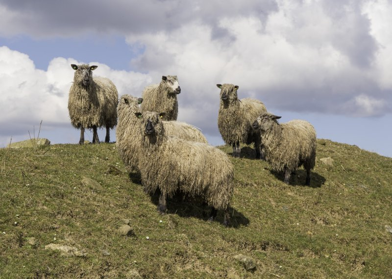 Native UK breeds such as Lincoln Longwool and Leicester Longwool have been on the decline for some time
