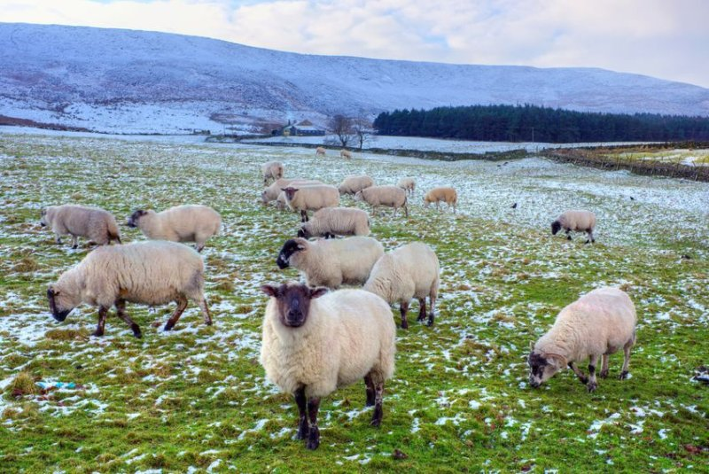57 black faced wether sheep were stolen from a remote farm in Argyll, police said