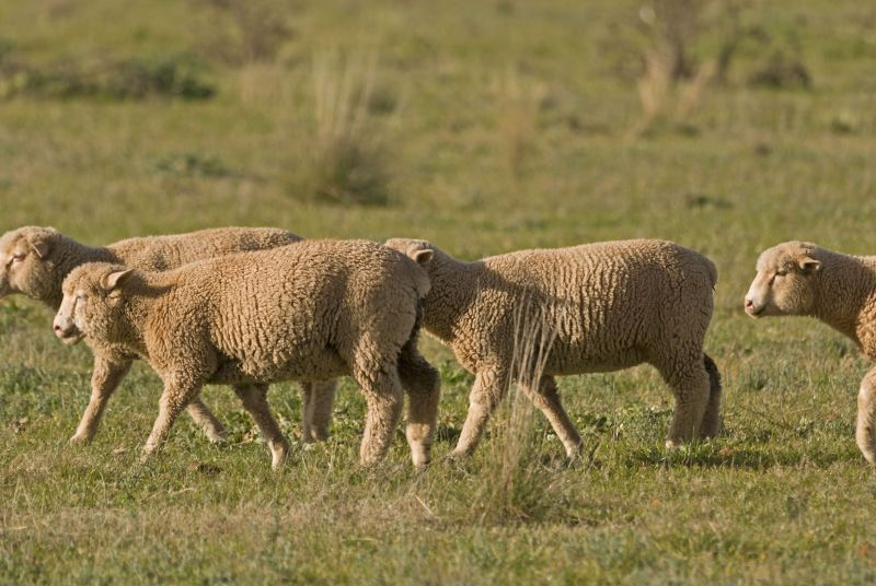 The top priority for farmers is preventing contamination of pastures with fluke eggs, animal health experts suggest