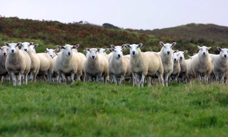 RamCompare takes nominated performance-recorded rams from various terminal sire breeds and uses them on nine commercial farms in the UK