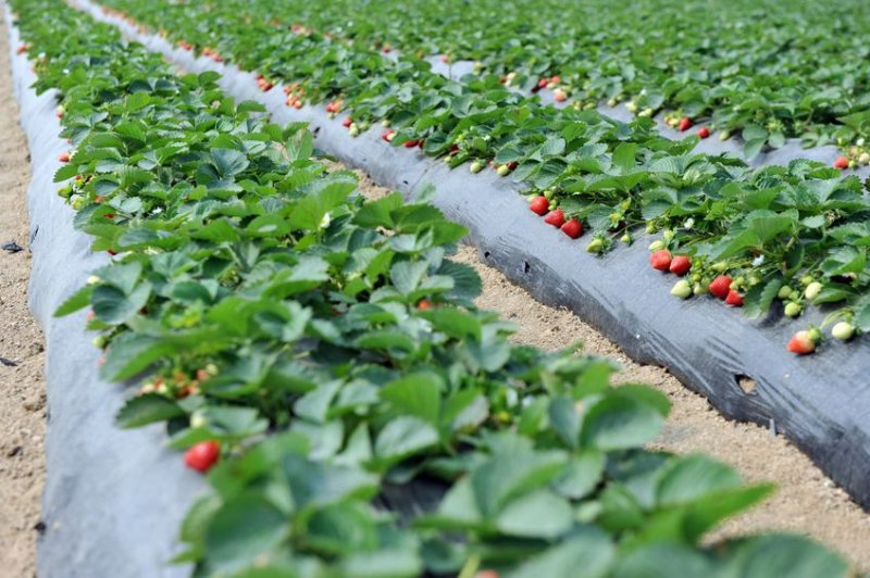 Strawberry powdery mildew caused major yield loss worth an estimated £56.8m in 2016