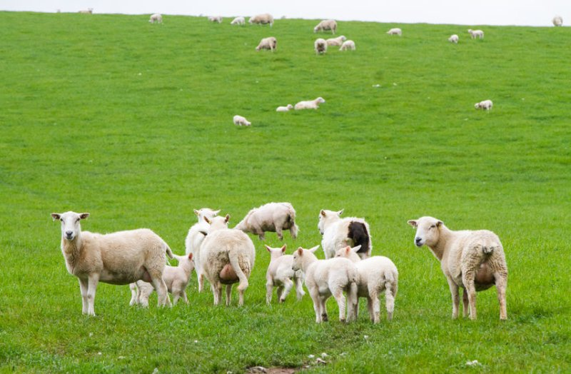 Figures show UK sheep meat exports fell by 40% in March as the the impacts of the coronavirus crisis become ever clearer
