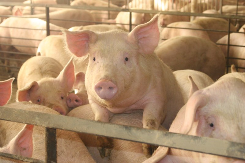 Heat stress can have a significant impact on all ages of pigs with research showing that pigs start to show signs of heat stress from as low as 17-180C