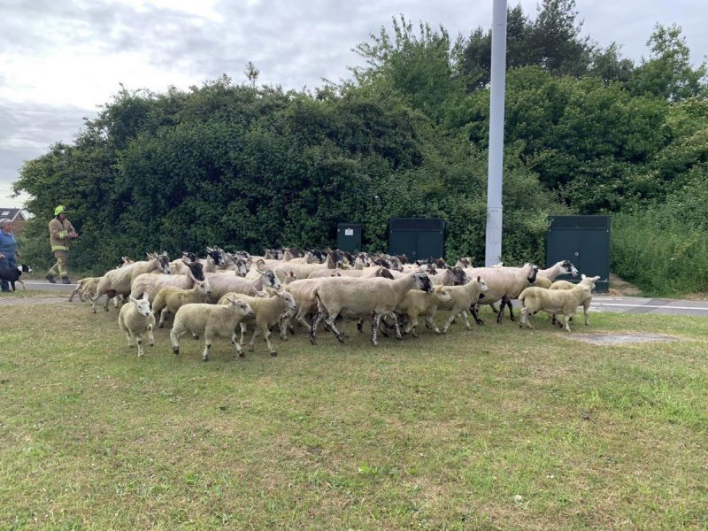 The road was partially closed for up to an hour to allow the sheep to be herded into a nearby field (Photo: Station manager Tony Walker/Twitter)