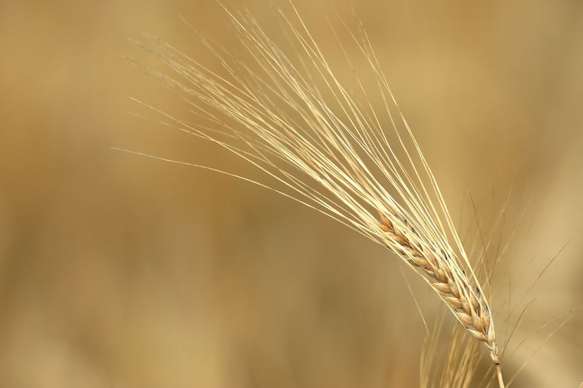 The sharp drop in barley usage was driven by the fall in demand into food service due to the Covid-19 lockdown, AHDB said