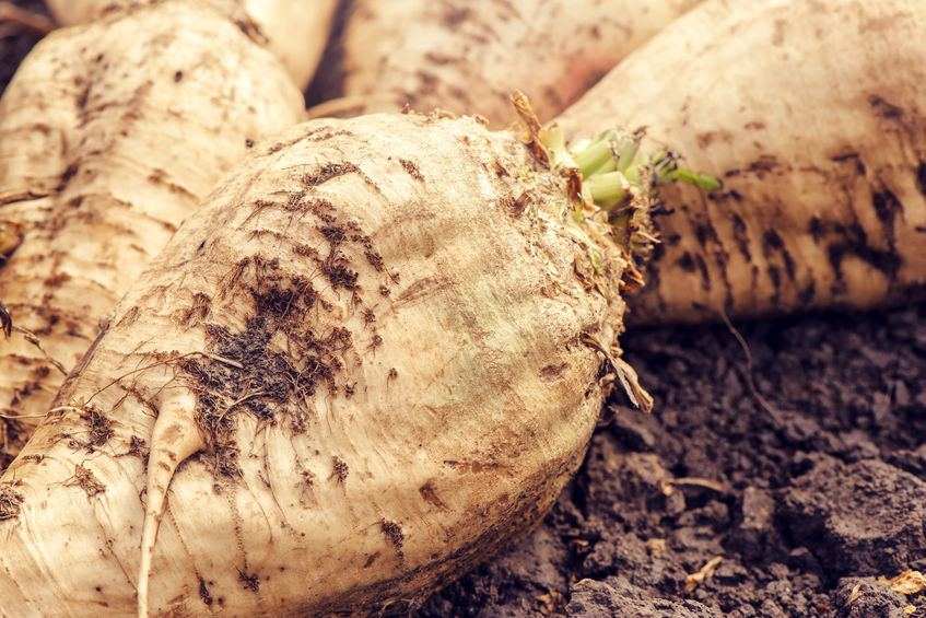 British Sugar has predicted a reduction in sugar beet crop harvested compared to last year