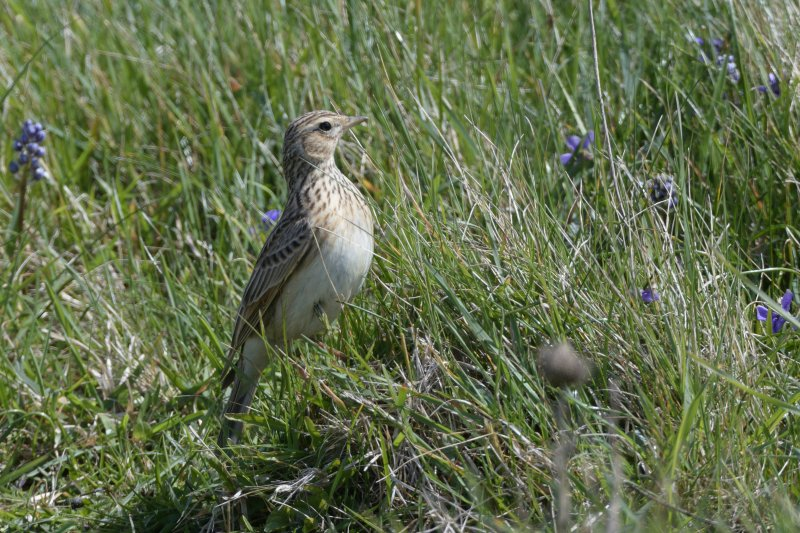The results show increases in the numbers of breeding pairs of rare farmland birds, including skylarks (Photo: Nick Upton & NT Images)