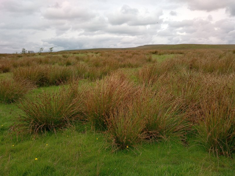 The spread of rushes in upland farmland is of growing importance because it has the potential to reduce the productivity of land for farmers