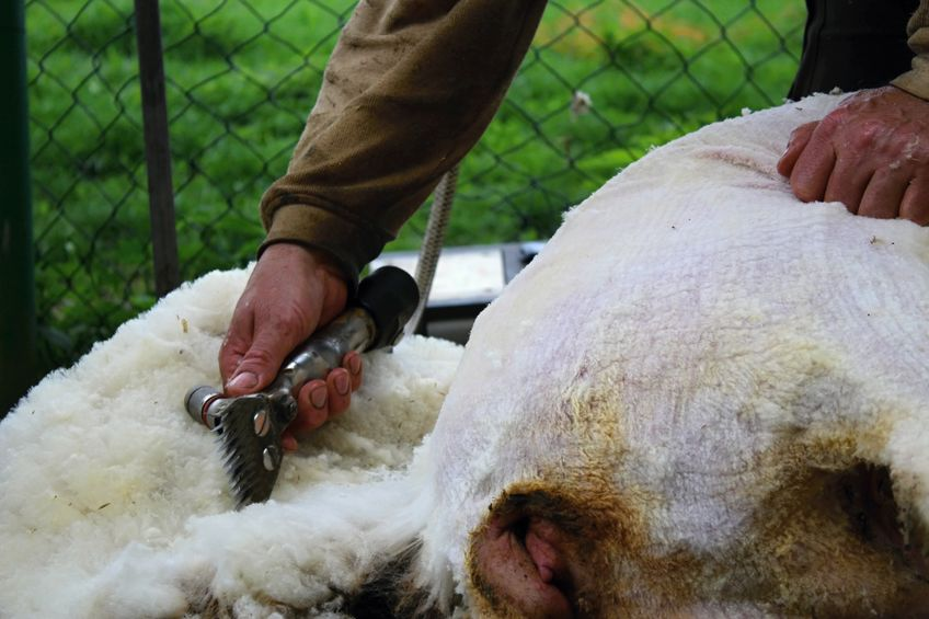 The sheep wool sector has been severely impacted by the Covid-19 crisis