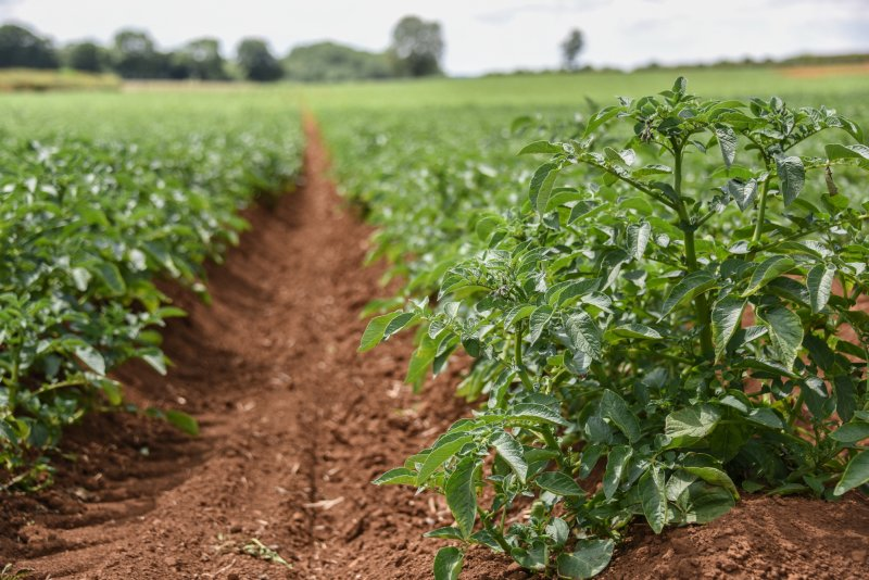 Changing weather pattern has put UK potato growers on high alert for blight
