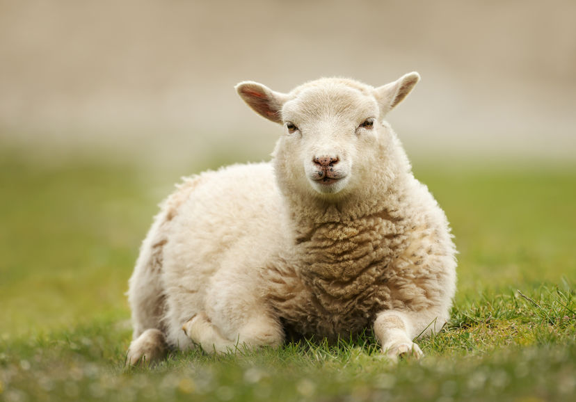 The National Sheep Association is urging the government to 'stand by UK farmers' as further trade talks begin