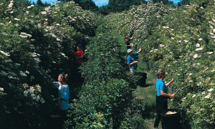 Belvoir Fruit Farms estimated it needed up to 20 tonnes of picked elderflowers during June to last until the 2021 harvest