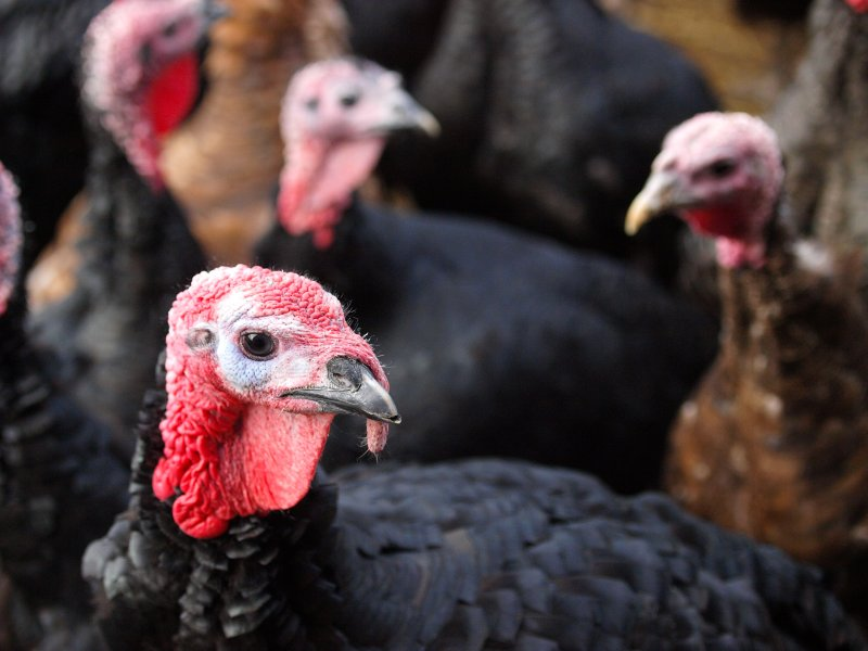 Reared for 20 weeks of age or more, producers have been told that it is important to ensure turkeys receive the optimum levels of nutrition throughout the different growth stages