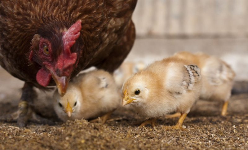 Acoustic data from chickens could be used to identify welfare problems at an early stage