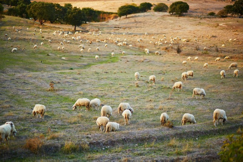 Sheep on pasture in Sardinia. Italy was one of the first countries to be affected by the pandemic, with the survey showing a drastic reduction in farmers' confidence