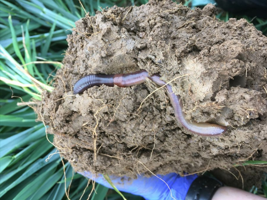 Research has shown deeper rooting earthworms can provide multiple benefits to crops (Photo: Rothamsted Research)