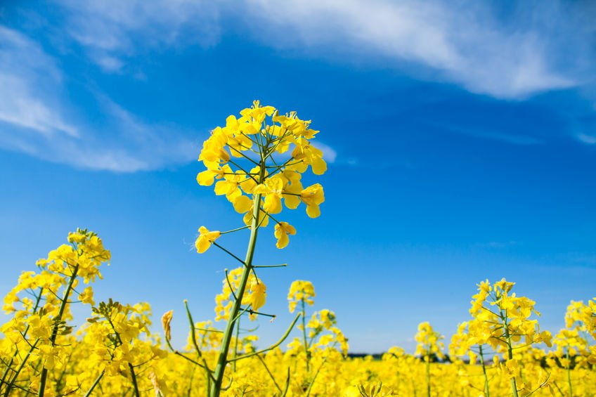 The 2020 harvest area for oilseed rape is the lowest recorded in England since 2002, the survey says