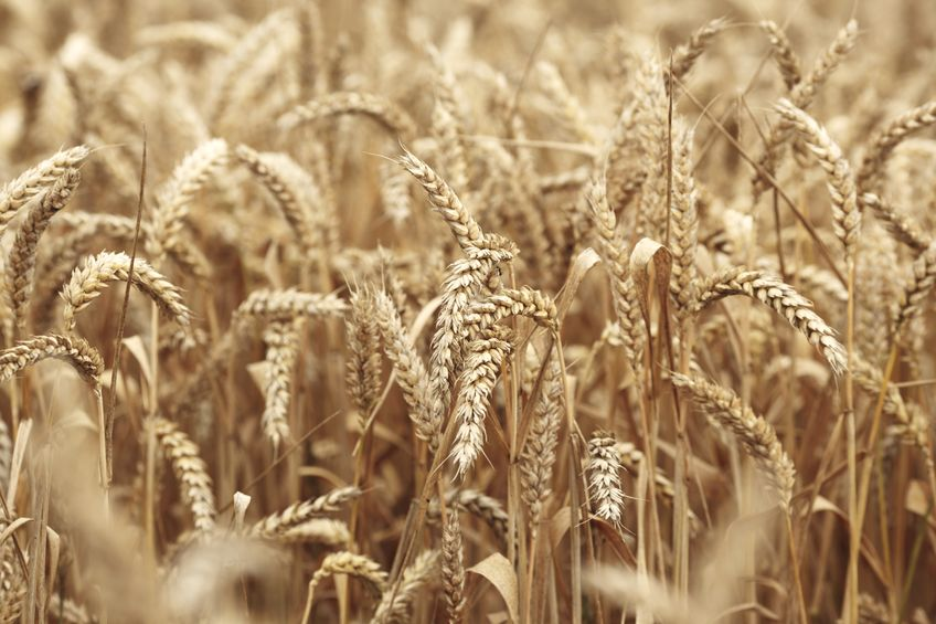 The system, developed by UK scientists, will give farmers more security without needing to wait until signs of spore damage appear on wheat
