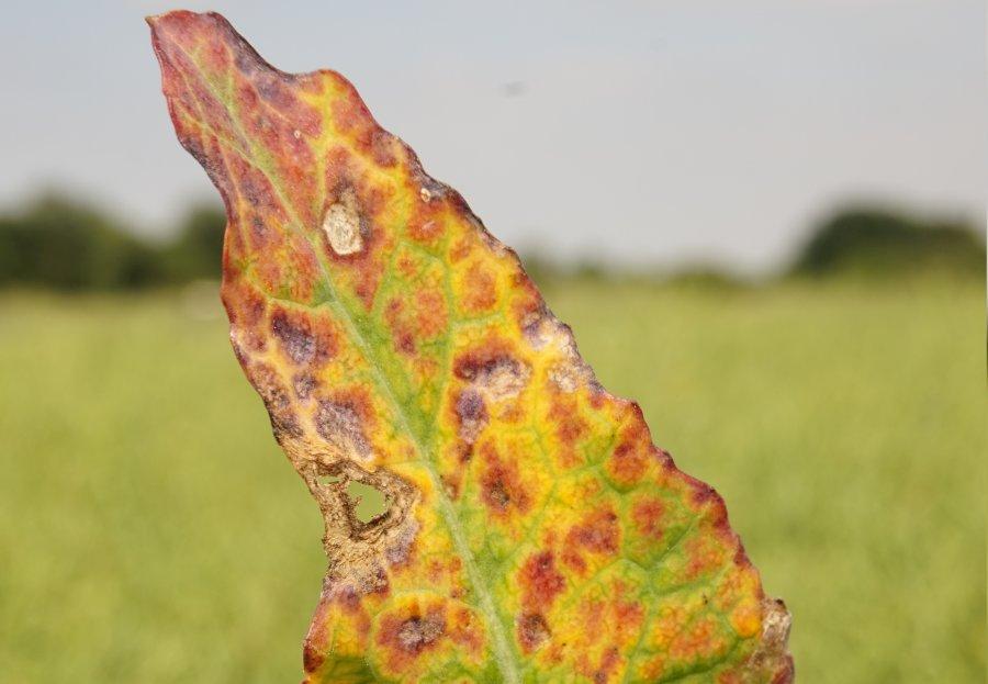 Turnip yellows virus (TuYV) is endemic across oilseed rape crops in the UK, plant breeders Limagrain warns